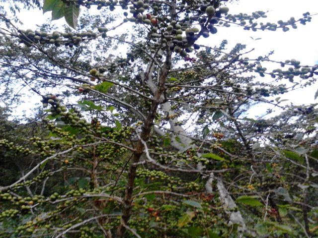 La planta, como un método de auto-curación, deja caer las hojas infectadas con el hongo de manera que se reduce la posibilidad de tener flores y fruto.